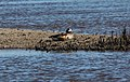 Chiloe Wigeon (Anas sibilatrix) (15770008837).jpg