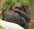 Chimpanzee II (13945603121).jpg