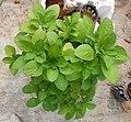 Chinese potato plant.jpg