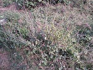 Achyranthes aspera - (चिरचिटा) is a Ayurvedik Medicine plant