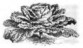 Chou Milan ordinaire Vilmorin-Andrieux 1883.png