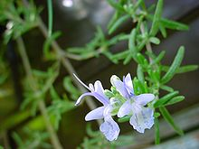 ChristianBauer flowering rosemary.jpg