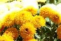 Chrysanthemum Fiotto 2zz.jpg