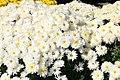 Chrysanthemum Yohelga 1zz.jpg