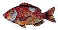 Chrysoblephus laticeps00.jpg