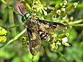 Chrysops relictus (Tabanidae) - (imago), Elst (Gld), the Netherlands.jpg