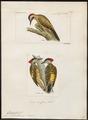 Chrysoptilus melanochloros - 1700-1880 - Print - Iconographia Zoologica - Special Collections University of Amsterdam - UBA01 IZ18700329.tif