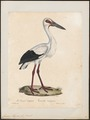 Ciconia maguari - 1825-1834 - Print - Iconographia Zoologica - Special Collections University of Amsterdam - UBA01 IZ17600031.tif