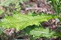 Cirsium vulgare-Chardon commun-Feuille-20150904.jpg