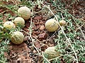 Citrullus-lanatus Tsamma-Melon AUS.JPG