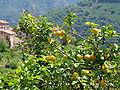 Citrus x Limon JPG1.jpg