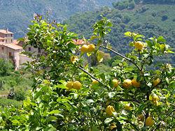 Un citronnier en Corse