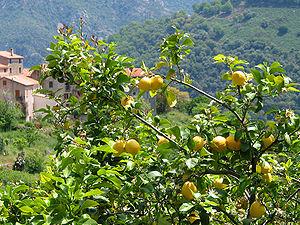 http://upload.wikimedia.org/wikipedia/commons/thumb/1/16/Citrus_x_Limon_JPG1.jpg/300px-Citrus_x_Limon_JPG1.jpg