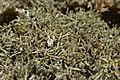 Cladonia uncialis 42537233.jpg