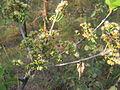Cleistocalyx operculatus Np 02.JPG