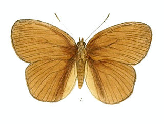 <i>Faunis</i> Genus of brush-footed butterflies