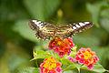 Clipper butterfly Specimen shot of back.jpg
