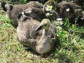 Clissold Park London June 15 2016 009 Baby Geese (2) (27075783853).jpg