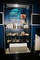 CnidariaDisplayBelfastMuseum.JPG