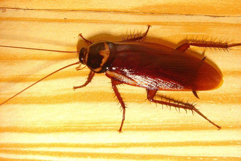 Ficheiro:Cockroachcloseup.jpg
