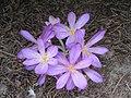 Colchicum cilicicum003.jpg