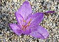 Colchicum variegatum 1.jpg