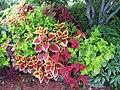 Coleus garden (6164503458).jpg