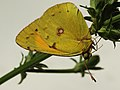 Colias myrmidone ♂ - Danube clouded yellow (male) - Ракитниковая желтушка (самец) (39366518980).jpg