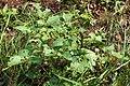Coloradokever (Leptinotarsa decemlineata) 02.jpg