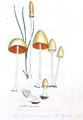 Coloured Figures of English Fungi or Mushrooms - t. 33.png