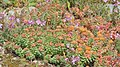 Colourful summer flowers, Aappilattoq, 2017.jpg