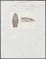 Coluber blumenbachii - kop - 1700-1880 - Print - Iconographia Zoologica - Special Collections University of Amsterdam - UBA01 IZ12100203.tif