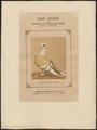 Columba domestica var. sericata - 1874- - Print - Iconographia Zoologica - Special Collections University of Amsterdam - UBA01 IZ18900183.tif