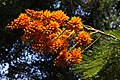 Colvillea racemosa 50D 5983.jpg