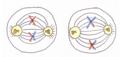 Combinació a l'atzar de cromosomes.png