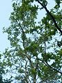 Combretum erythrophyllum, habitus, Roodekrans, a.jpg