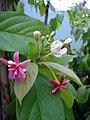Combretum indicum (2).jpg