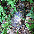 Common Eastern Box Turtle (14929591436).jpg
