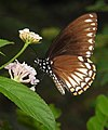 Common Mime Papilio clytia UN by Dr. Raju Kasambe DSCN1609 (2).jpg