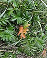 Common Silverweed (Argentina anserina) - Lark Harbour, Newfoundland 2019-08-18 (01).jpg