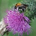 Common carder bee (Bombus pascuorum) on thistle.jpg