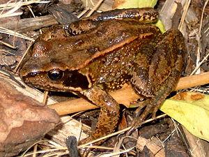 Beeston Beck (Norfolk) - The Common Brown Frog