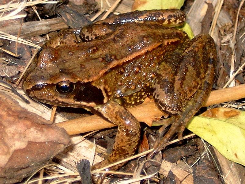 Fichier:Common frog.jpg