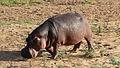 Common hippopotamus, Hippopotamus amphibius, at Letaba, Kruger National Park, South Africa (19599031483).jpg