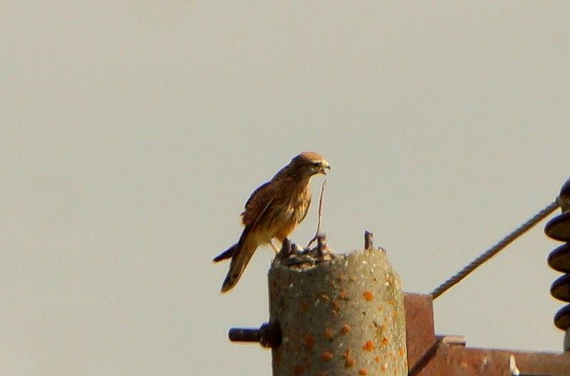 File:Common kestrel (Falco tinnunculus)01.jpg