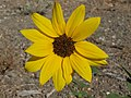 Common sunflower, Helianthus annuus (16150117804).jpg