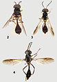 Comparison of Parastratiosphecomyia species - ZooKeys-238-001-g002.jpeg