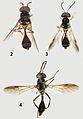 Comparison of Parastratiosphecomyia species - ZooKeys-238-001-g002.jpeg