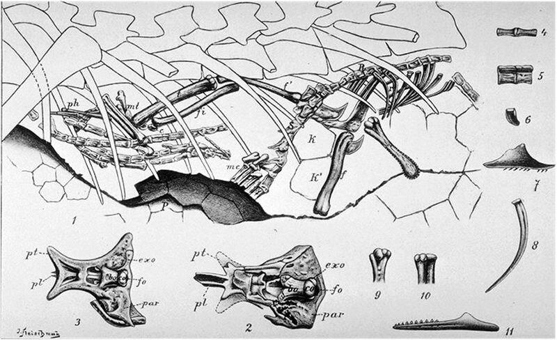 Compsognathus by Nopcsa, 1903