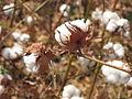 Conalgodón - algodón.JPG